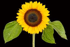 Chris Davalle - Sunflower